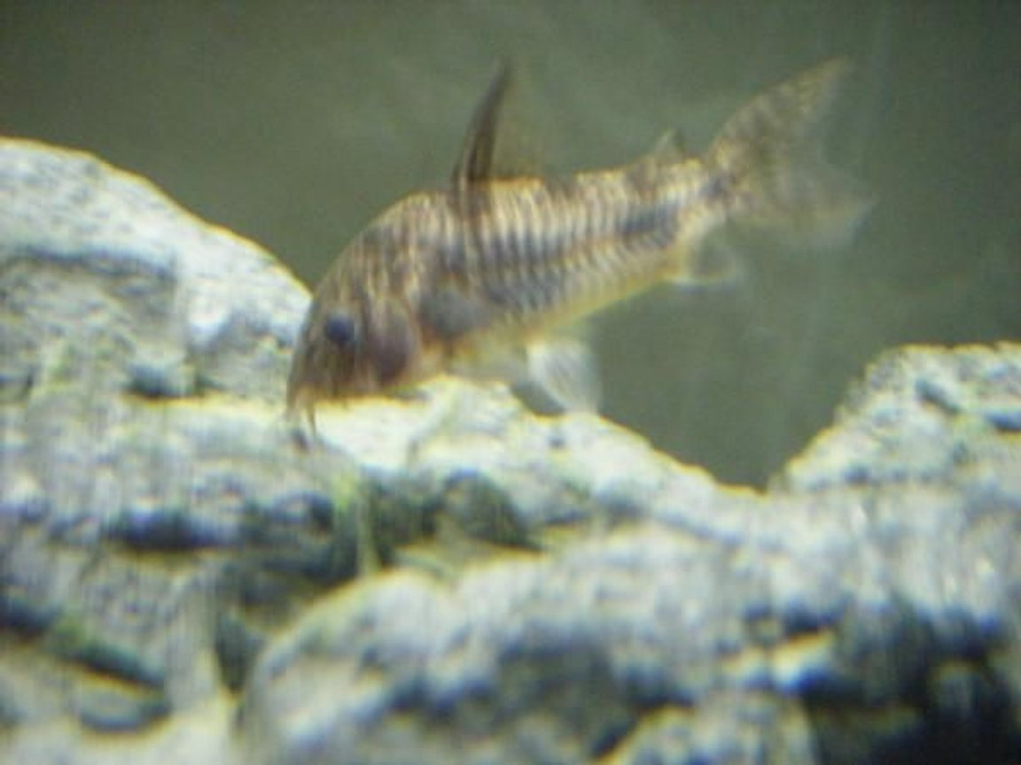 freshwater fish - corydoras paleatus - peppered cory cat stocking in 55 gallons tank - peppered cory