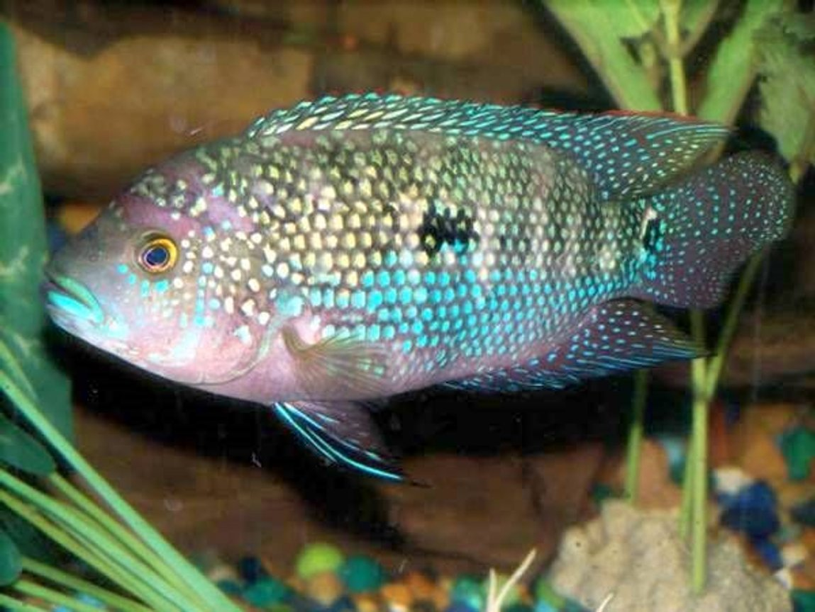 freshwater fish - aequidens rivulatus - green terror stocking in 30 gallons tank - pic