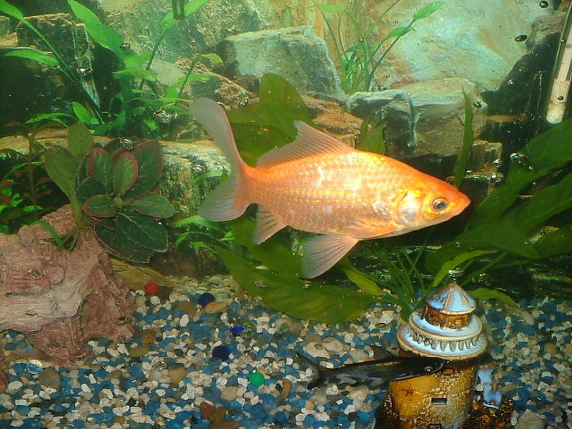 "freshwater fish - carassius auratus stocking in 75 gallons tank - ""i dont think so"" was the golfishs reply"