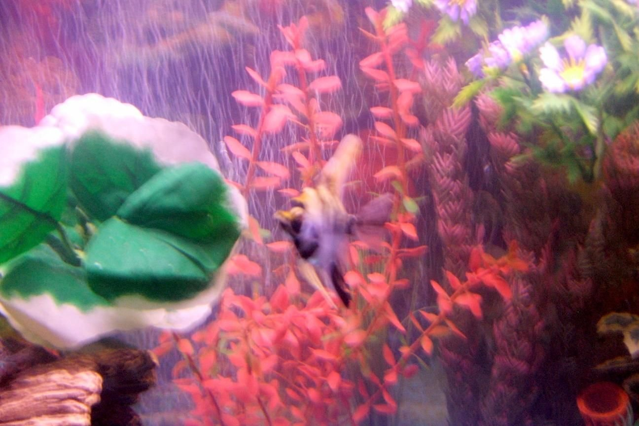 freshwater fish - pterophyllum sp. - koi angel stocking in 30 gallons tank - pic