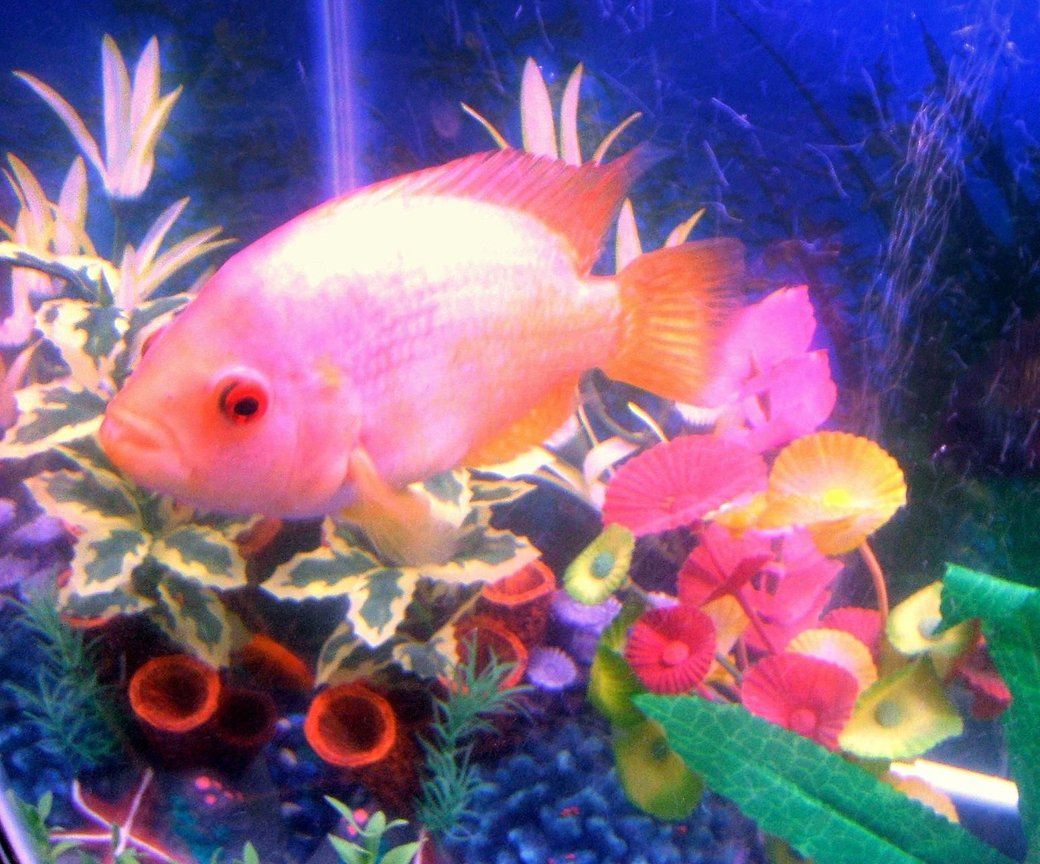 freshwater fish - amphilophus labiatus - red devil stocking in 30 gallons tank - pic