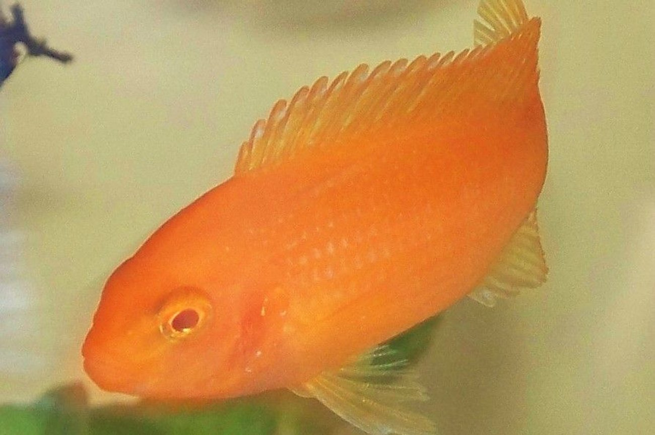freshwater fish - pseudotropheus estherae - red zebra cichlid stocking in 29 gallons tank - zebra red
