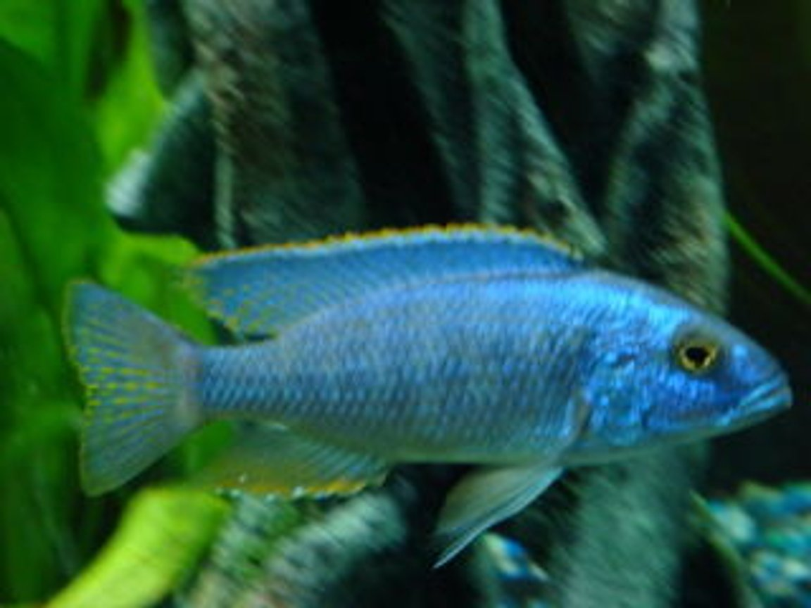freshwater fish - sciaenochromis ahli - electric blue cichlid stocking in 150 gallons tank - electric blue ahli