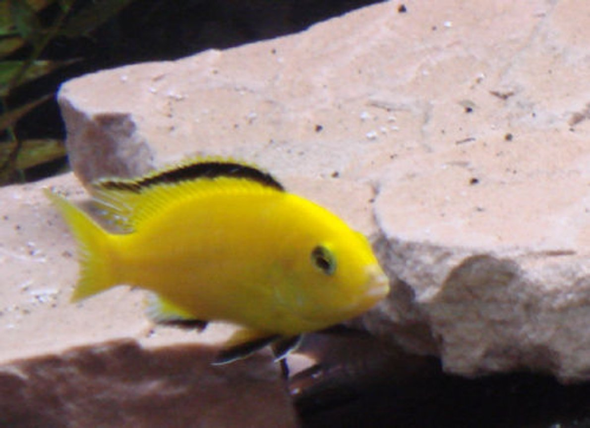 freshwater fish - labidochromis caeruleus - electric yellow cichlid stocking in 75 gallons tank - my male lab