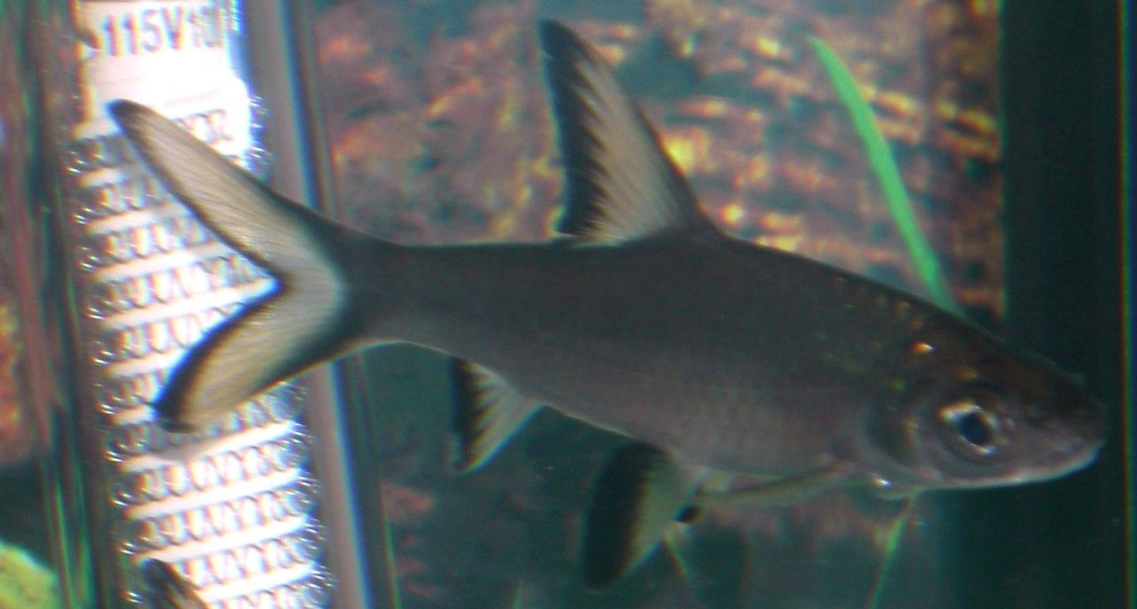 freshwater fish - balantiocheilus melanopterus - bala shark stocking in 25 gallons tank - Bala Shark