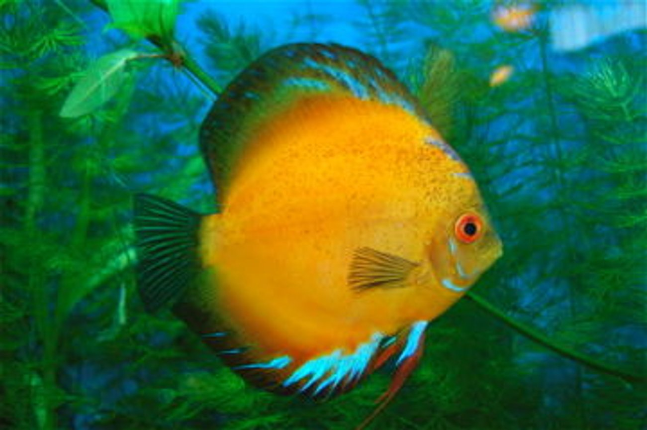 freshwater fish - morning glory discus stocking in 55 gallons tank - New Sunny picture.