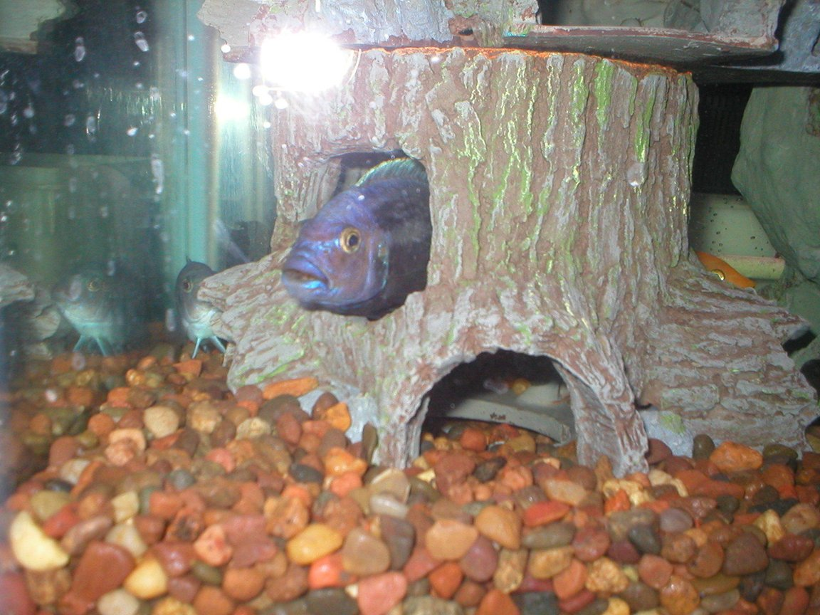 freshwater fish stocking in 29 gallons tank - Peek-a-Boo Cichlid