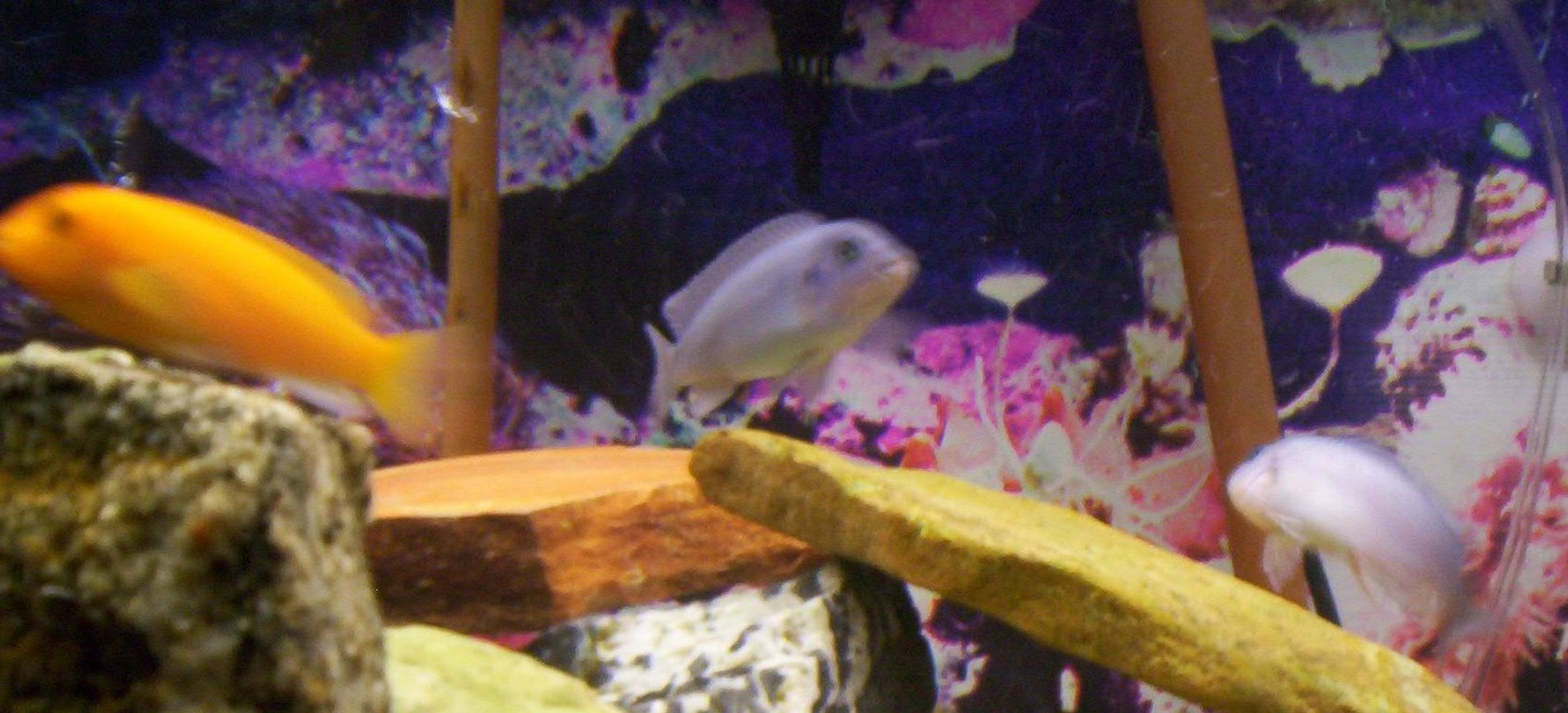 freshwater fish - pseudotropheus estherae - red zebra cichlid stocking in 75 gallons tank - Some pics of my fish