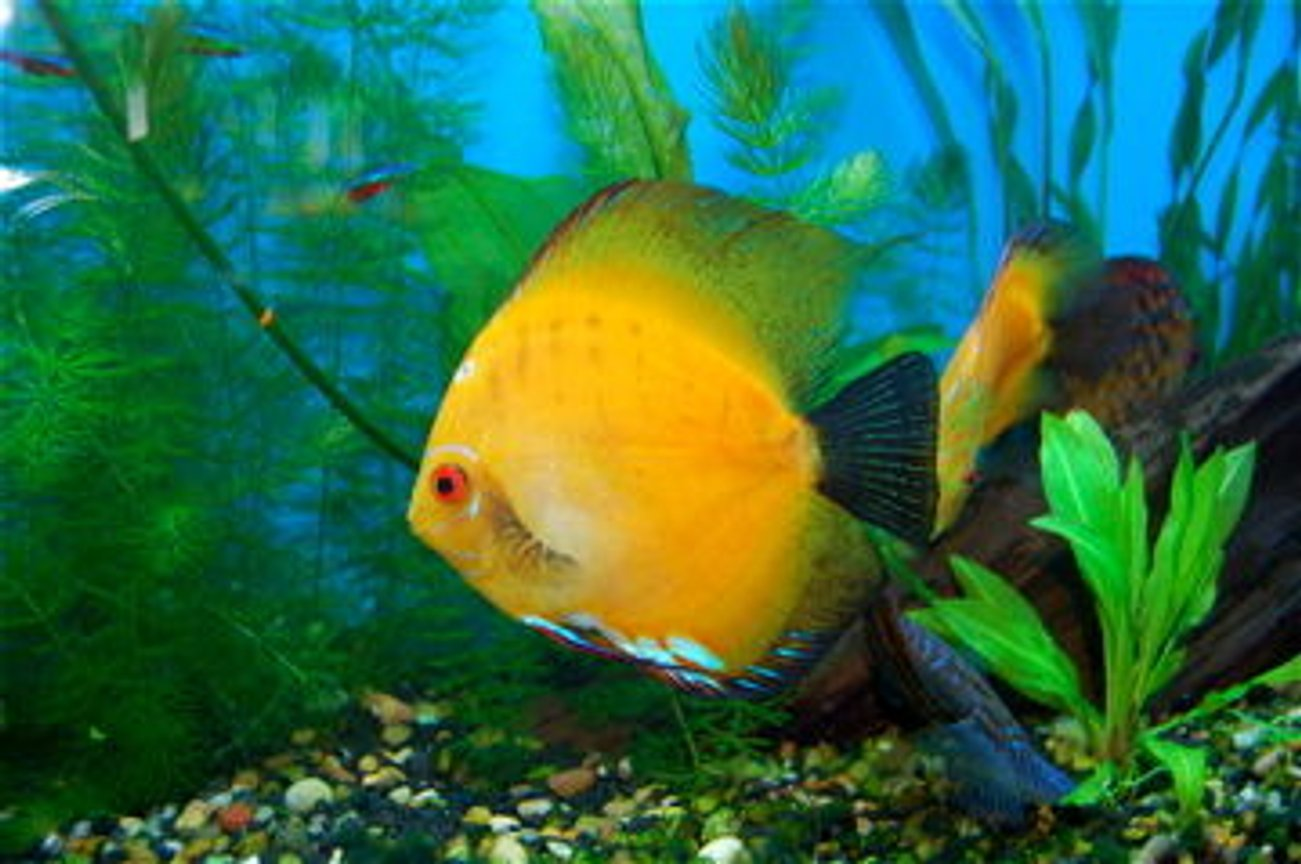 freshwater fish - morning glory discus stocking in 55 gallons tank - This is my Morning Glory Discus =)