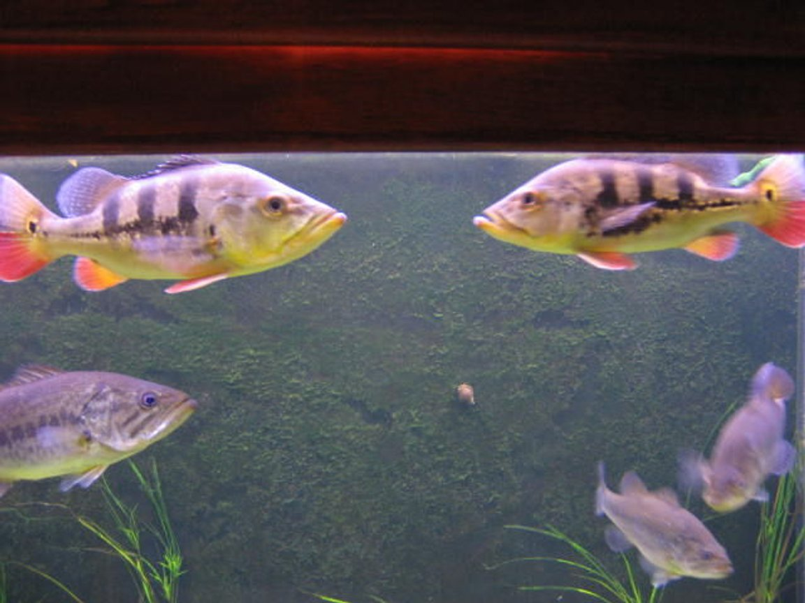 freshwater fish - cichlia ocellaris - peacock bass stocking in 225 gallons tank - peacock bass