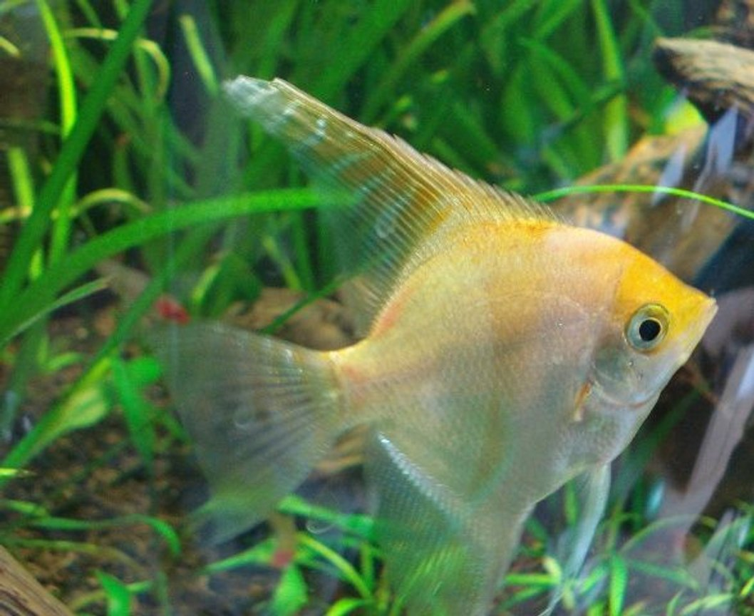 freshwater fish - pterophyllum sp. - gold veil angel stocking in 26 gallons tank - Gold Angel