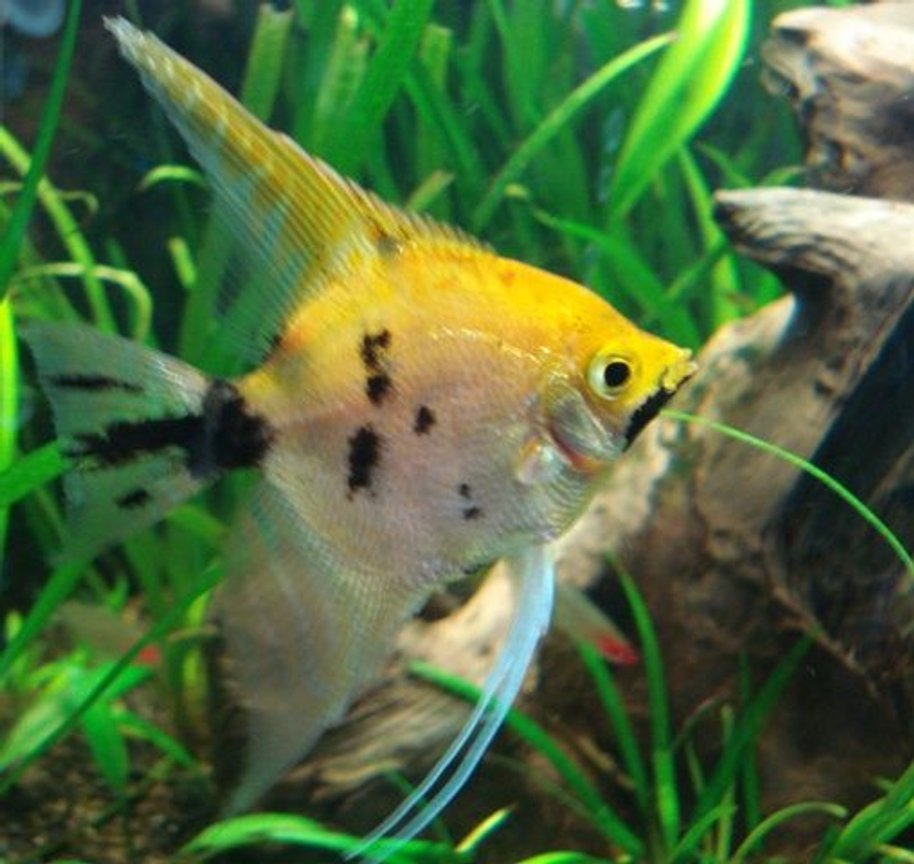 freshwater fish - pterophyllum sp. - koi angel stocking in 26 gallons tank - Koi Angel?