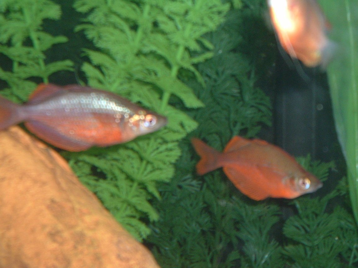 freshwater fish - glossolepis incisis - red irian rainbow stocking in 55 gallons tank - red rainbow