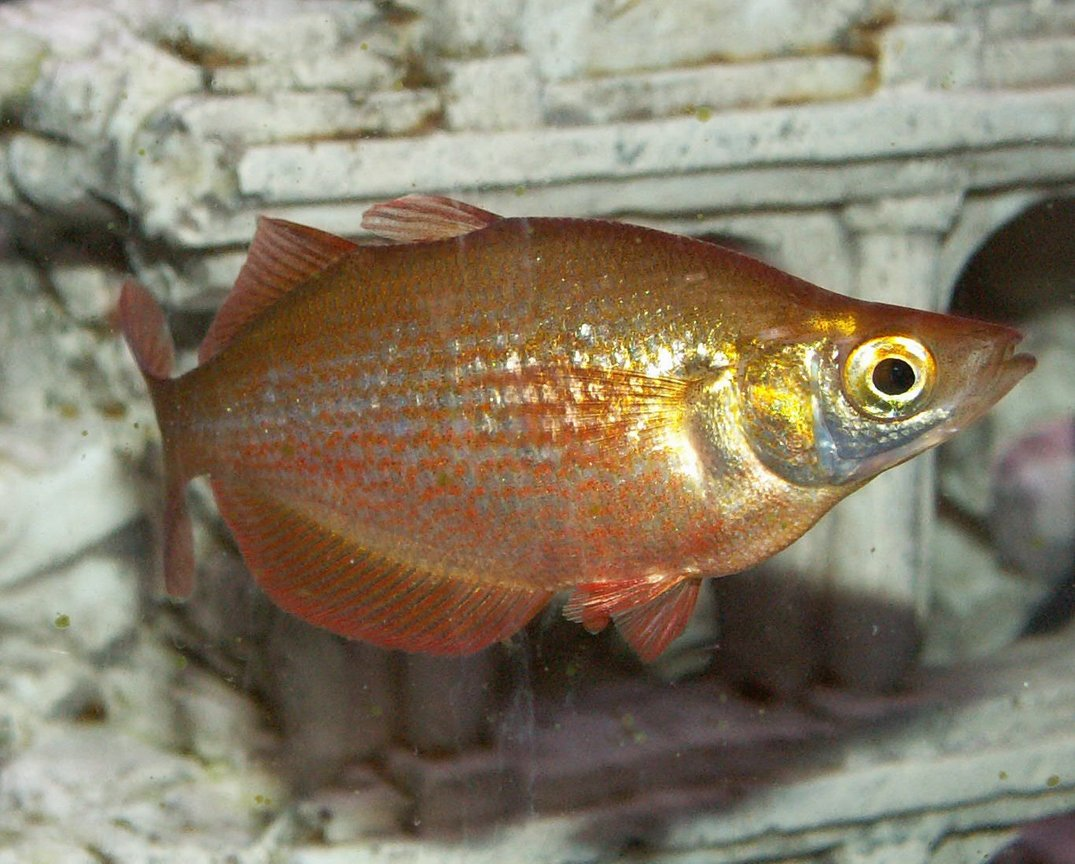 freshwater fish - glossolepis incisis - red irian rainbow stocking in 110 gallons tank - Red Rainbow