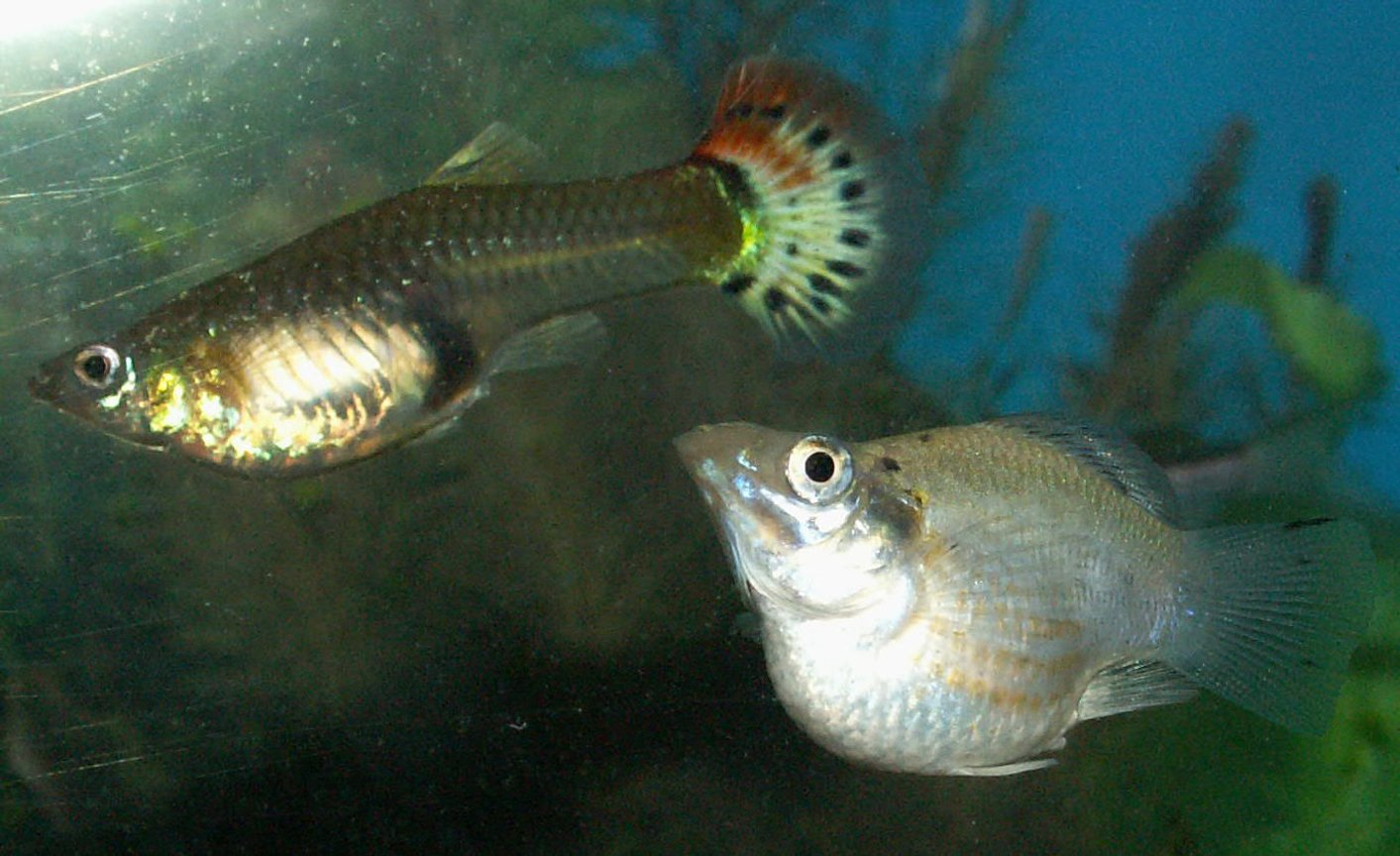 freshwater fish - poecilia latipinna - balloon molly stocking in 110 gallons tank - Guppy and White Balloon Molly