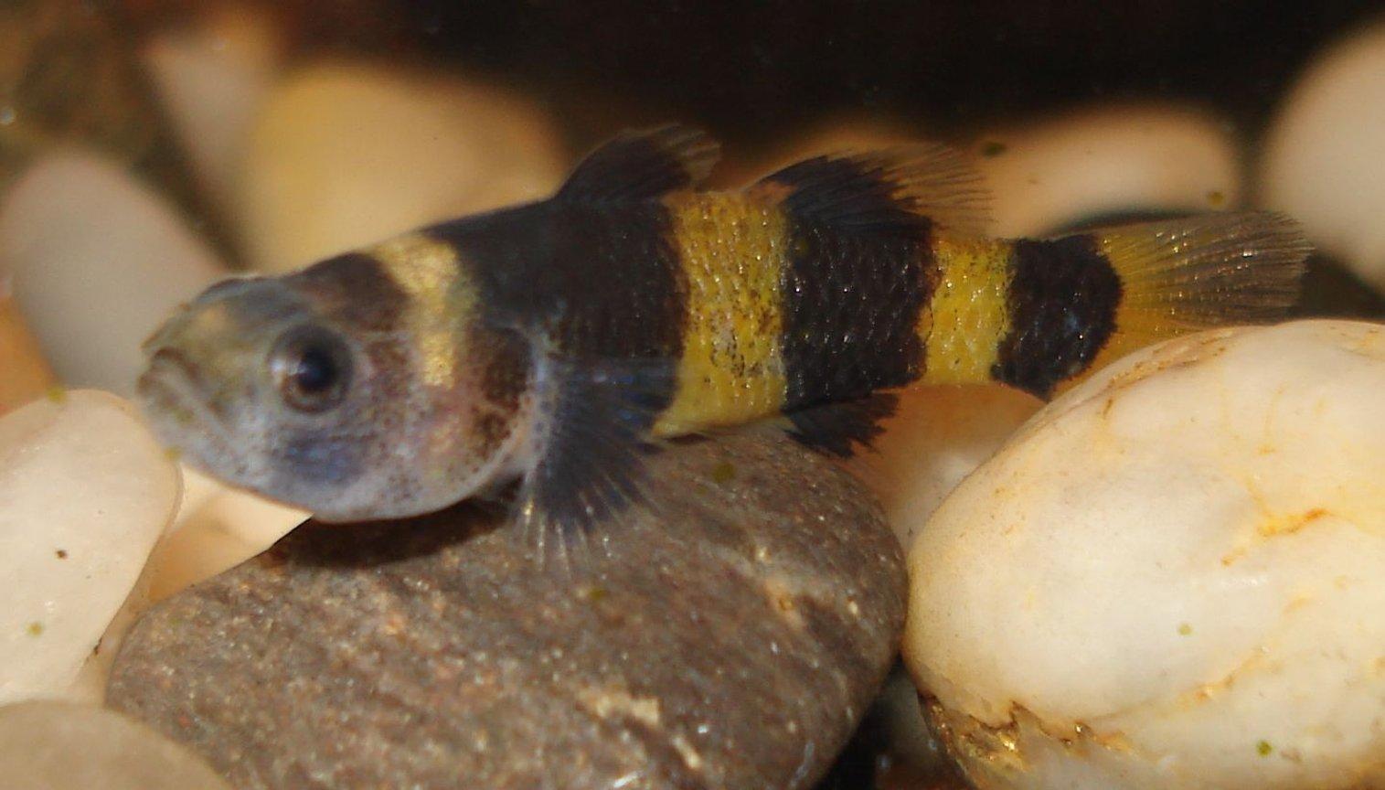 Bumblebee fish (Brachygobius jangojonas)