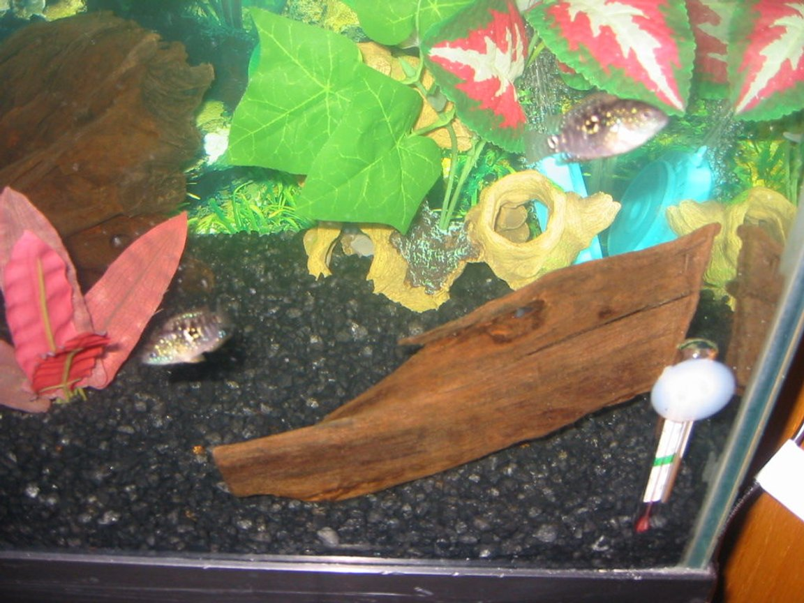 freshwater fish - ctenopoma acutirostre - leopard ctenopoma stocking in 30 gallons tank - 2 more brothers
