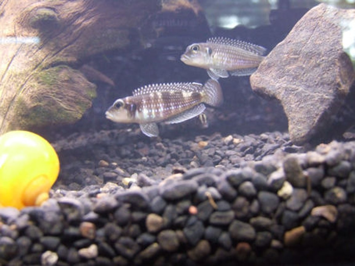 freshwater fish - lamprologus stappersi - pearly ocellatus stocking in 55 gallons tank - My Lamprologus Meleagris Male and Female