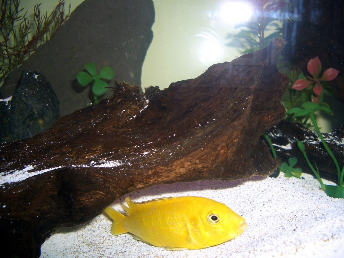 freshwater fish - labidochromis caeruleus - electric yellow cichlid stocking in 45 gallons tank - African cichlid