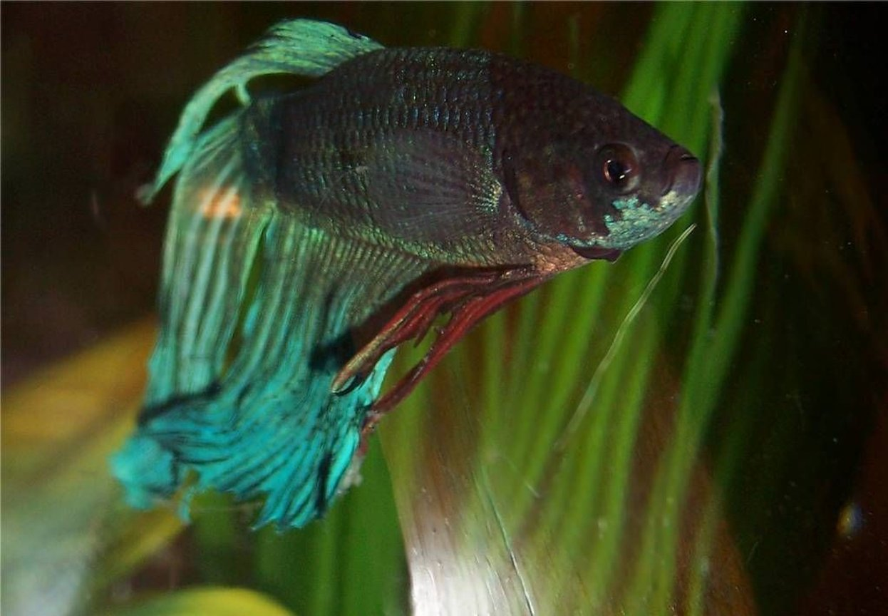 freshwater fish - betta splendens - betta - male stocking in 72 gallons tank - Betta Spooks