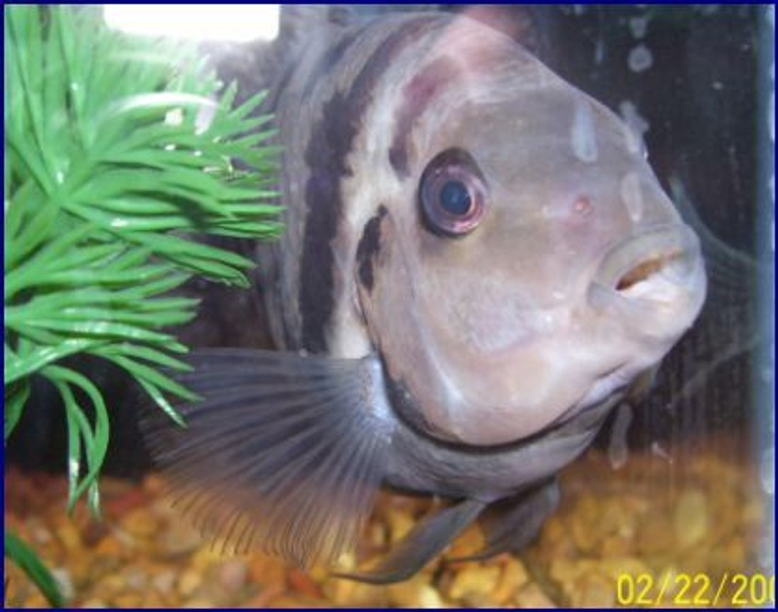 freshwater fish - archocentrus nigrofasciatus - convict cichlid stocking in 55 gallons tank - he's my guy i brought him back from a scary backround,, all beat up with a bad eye,, but he's great now and spoiled!!!!! He is as big as my whole hand !!!!