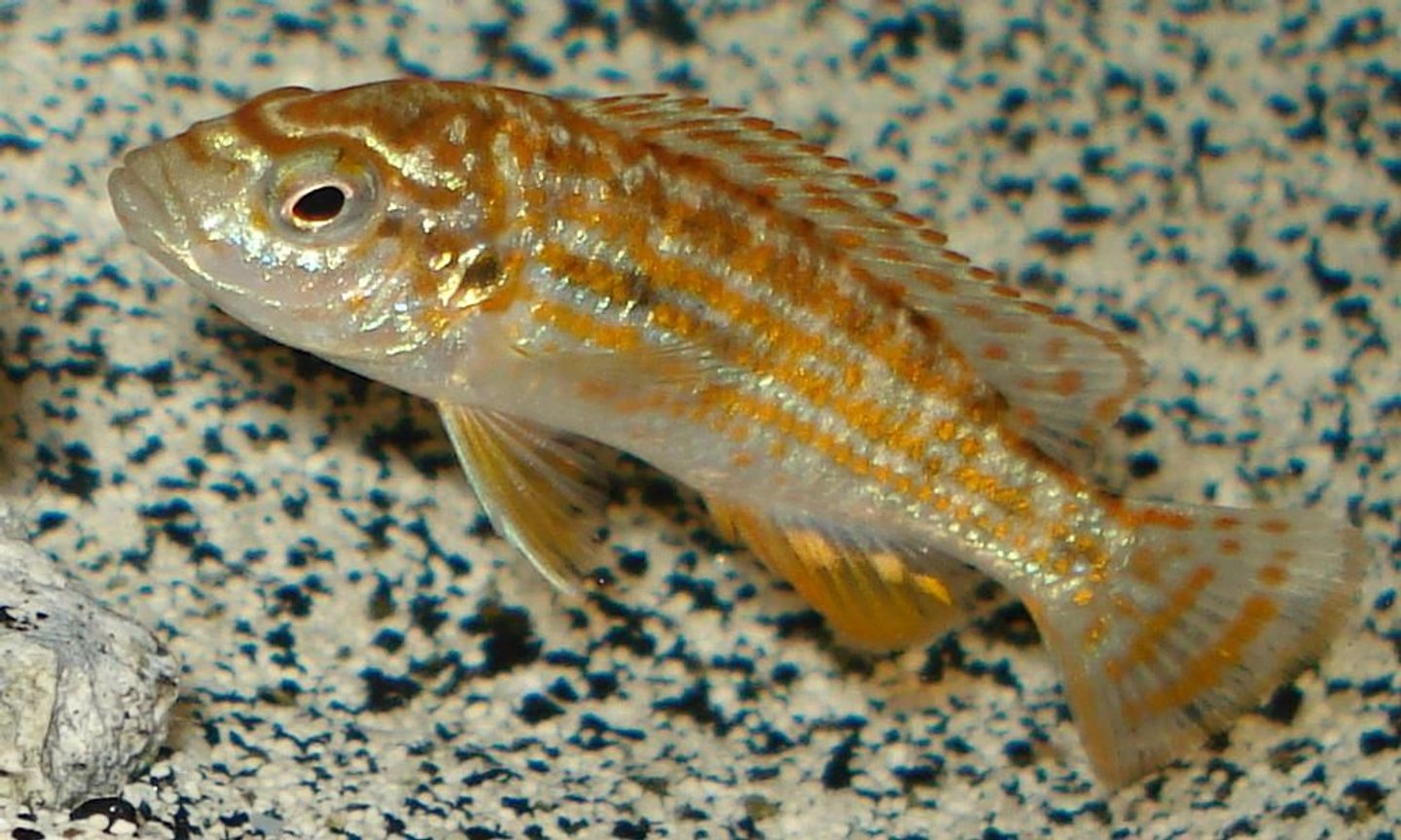 "freshwater fish - melanochromis joanjohnsonae - pearl of likoma stocking in 55 gallons tank - Melanochromus joanjohnsonae ""Pearl of Likoma"" juvenile"