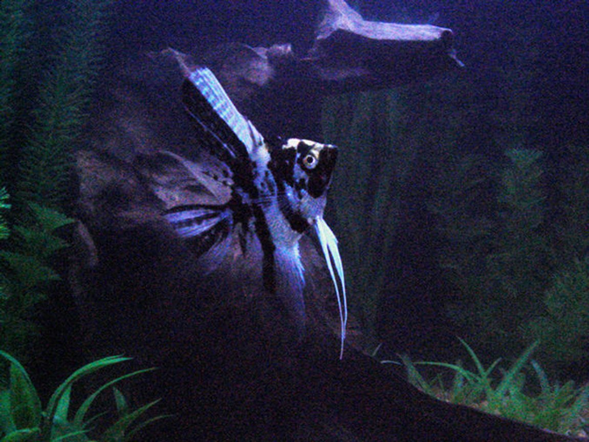 freshwater fish - pterophyllum sp. - marble veil angel stocking in 20 gallons tank - My angelfish in the night (back when i had driftwood)