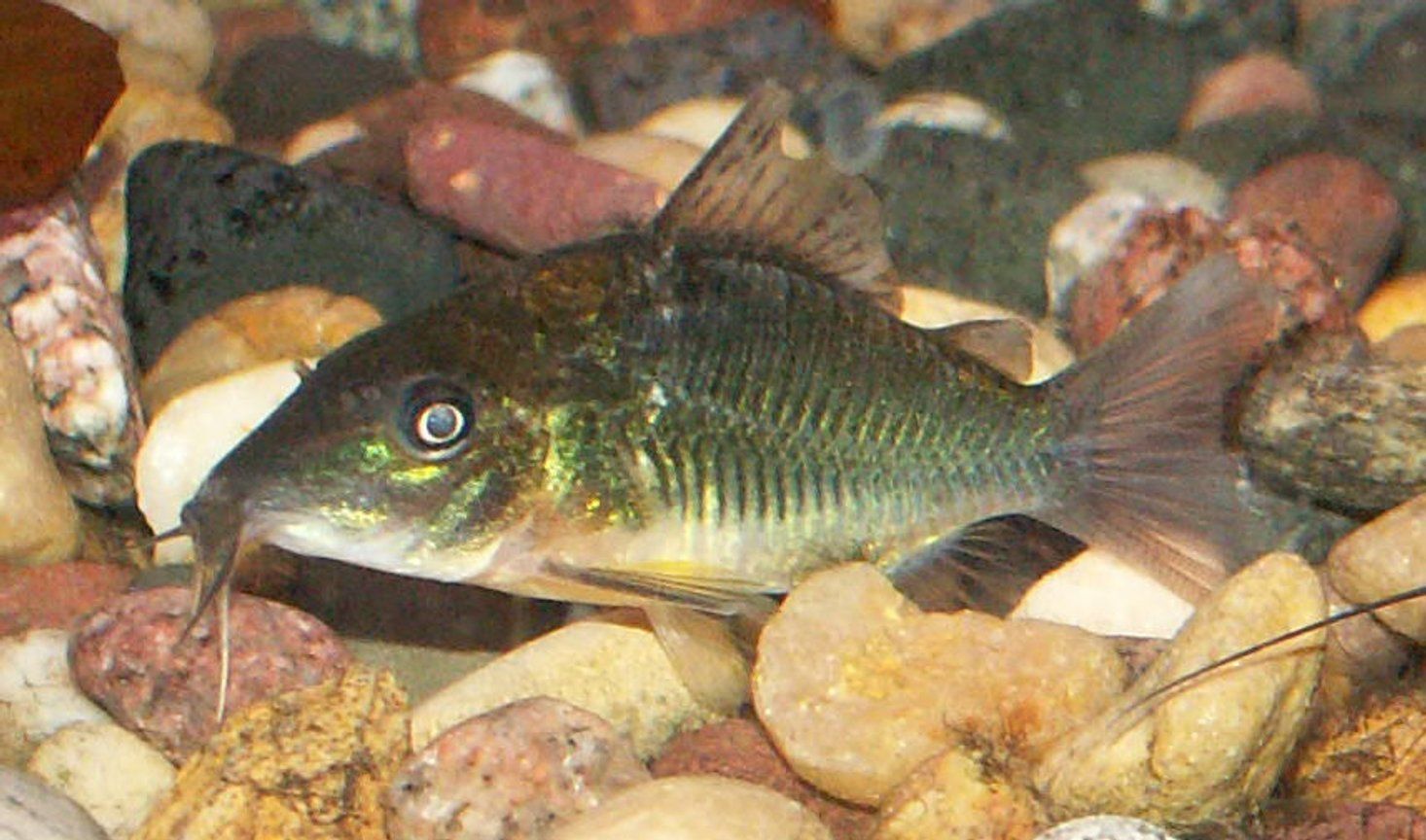 freshwater fish - brochis splendens - emerald green cory cat stocking in 110 gallons tank - Emerald Cory