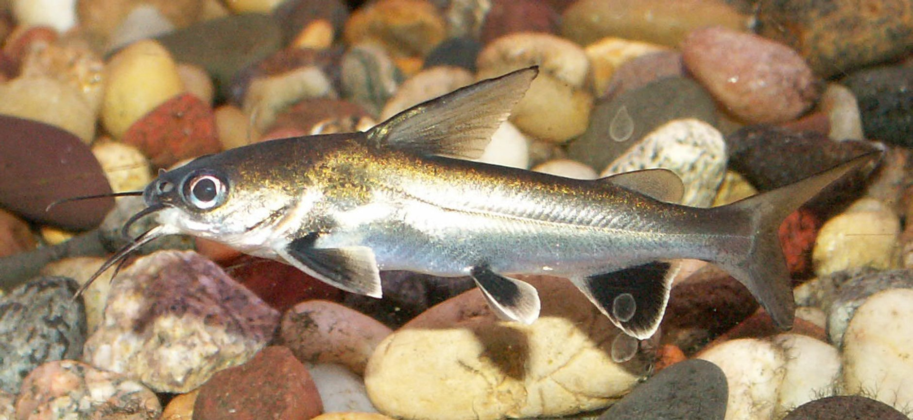 freshwater fish - hexanematichthys seemanni - silver-tipped shark stocking in 110 gallons tank - Silver Tipped Shark