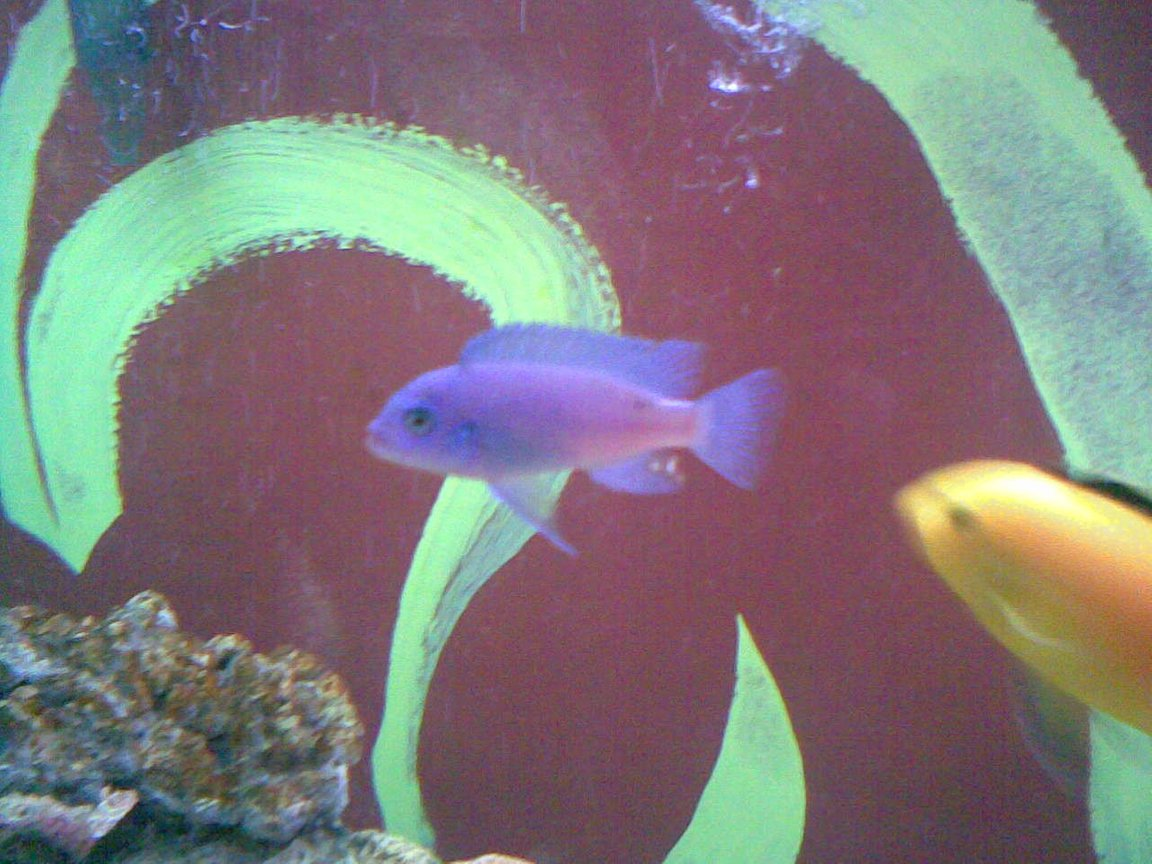 freshwater fish - maylandia callainos - blue cobalt cichlid stocking in 150 gallons tank - my fav