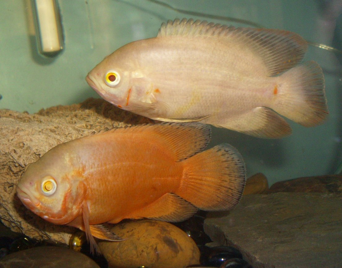 freshwater fish - astronotus ocellatus - albino oscar stocking in 30 gallons tank - this is my lemon and lutino oscars