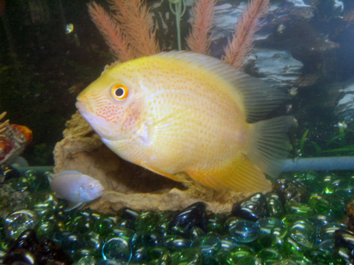 freshwater fish - heros serverus - gold severum stocking in 30 gallons tank - This is Toe Jam, my sister named this one, he is a gold severum and recently just started showing this awesome coloring, good ole bloodworms.