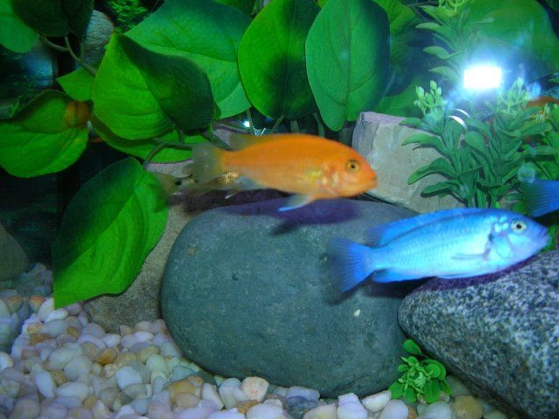 freshwater fish - pseudotropheus estherae - red zebra cichlid stocking in 46 gallons tank - African Cichlids