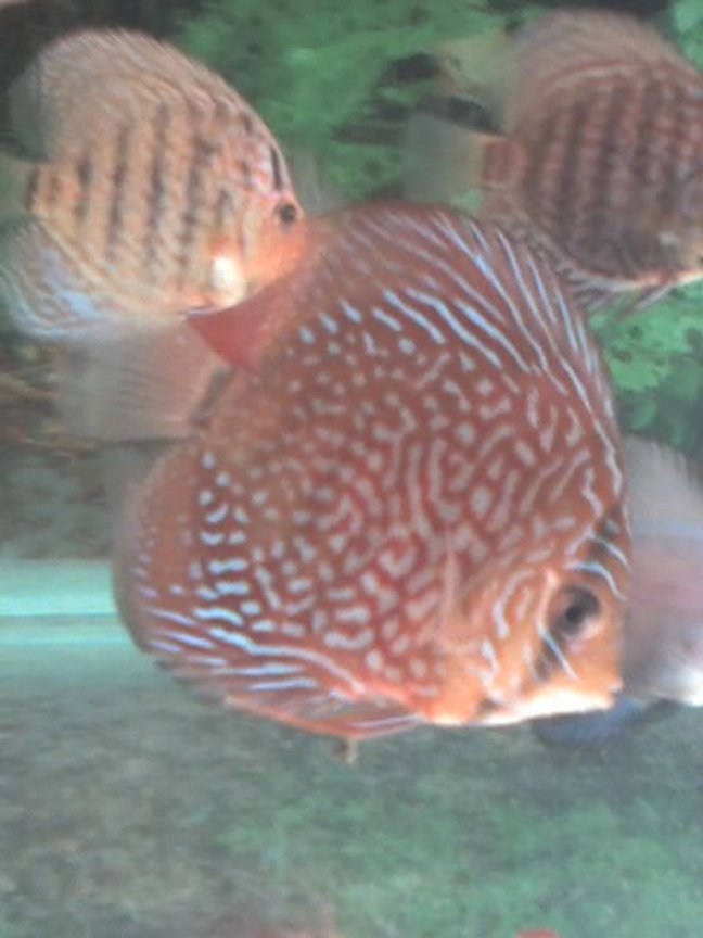 freshwater fish - symphysodon spp. - red turquoise discus stocking in 60 gallons tank - Red Turquoise discus