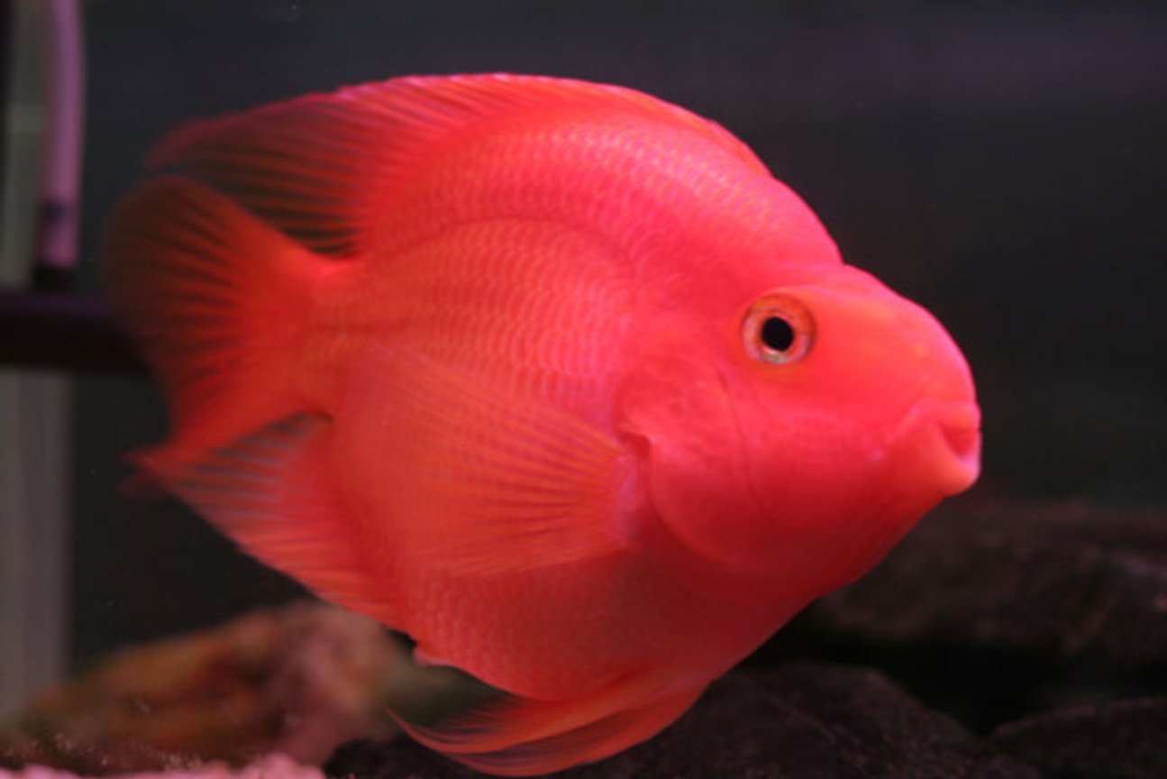 freshwater fish - heros severus x amphilophus citrinellum - blood parrot stocking in 75 gallons tank - pOOyan's other parrot