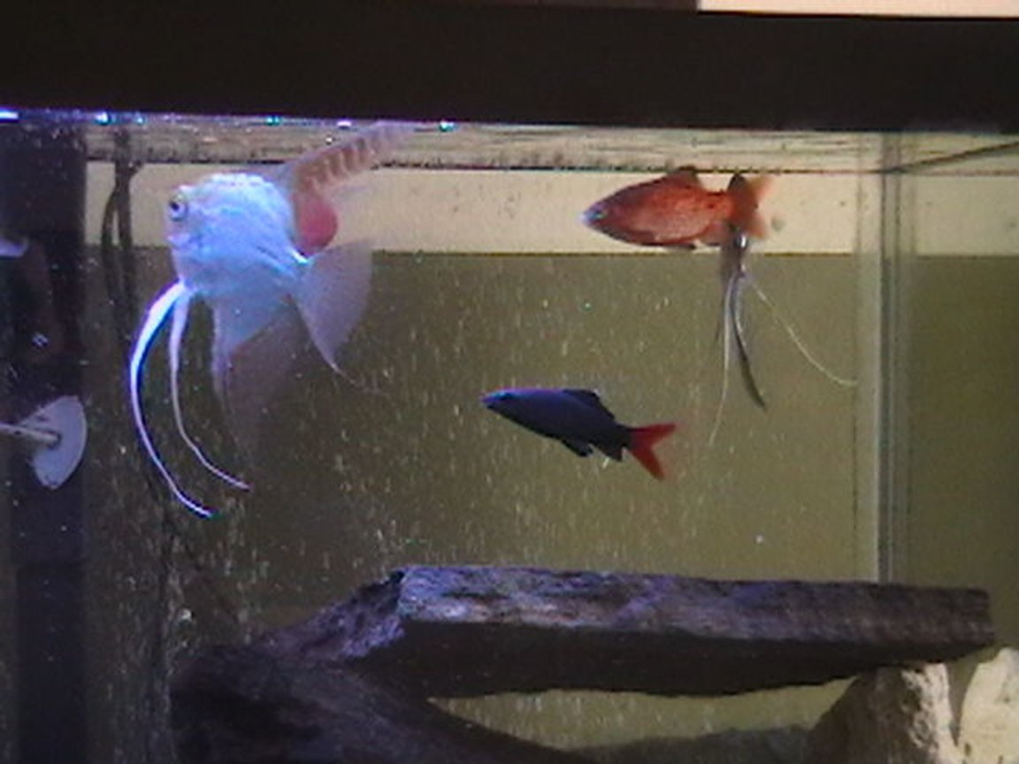 freshwater fish - epalzeorhynchos bicolor - redtail shark stocking in 29 gallons tank - better fish picture
