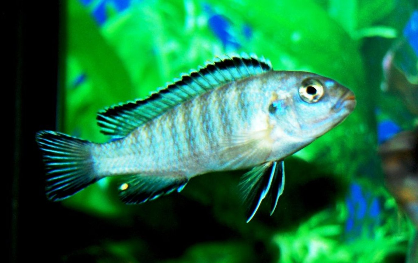 freshwater fish - pseudotropheus socolofi - powder blue cichlid stocking in 20 gallons tank - My Scolofi