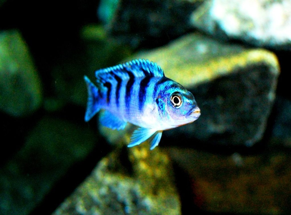 freshwater fish - metriaclima lombardoi - kenyi cichlid stocking in 20 gallons tank - Female Kenyi