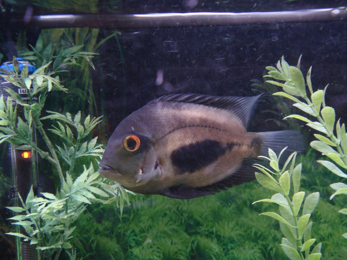freshwater fish - uara amphiacanthoides - uaru cichlid stocking in 90 gallons tank - My Uaru slicked back and ready to roll