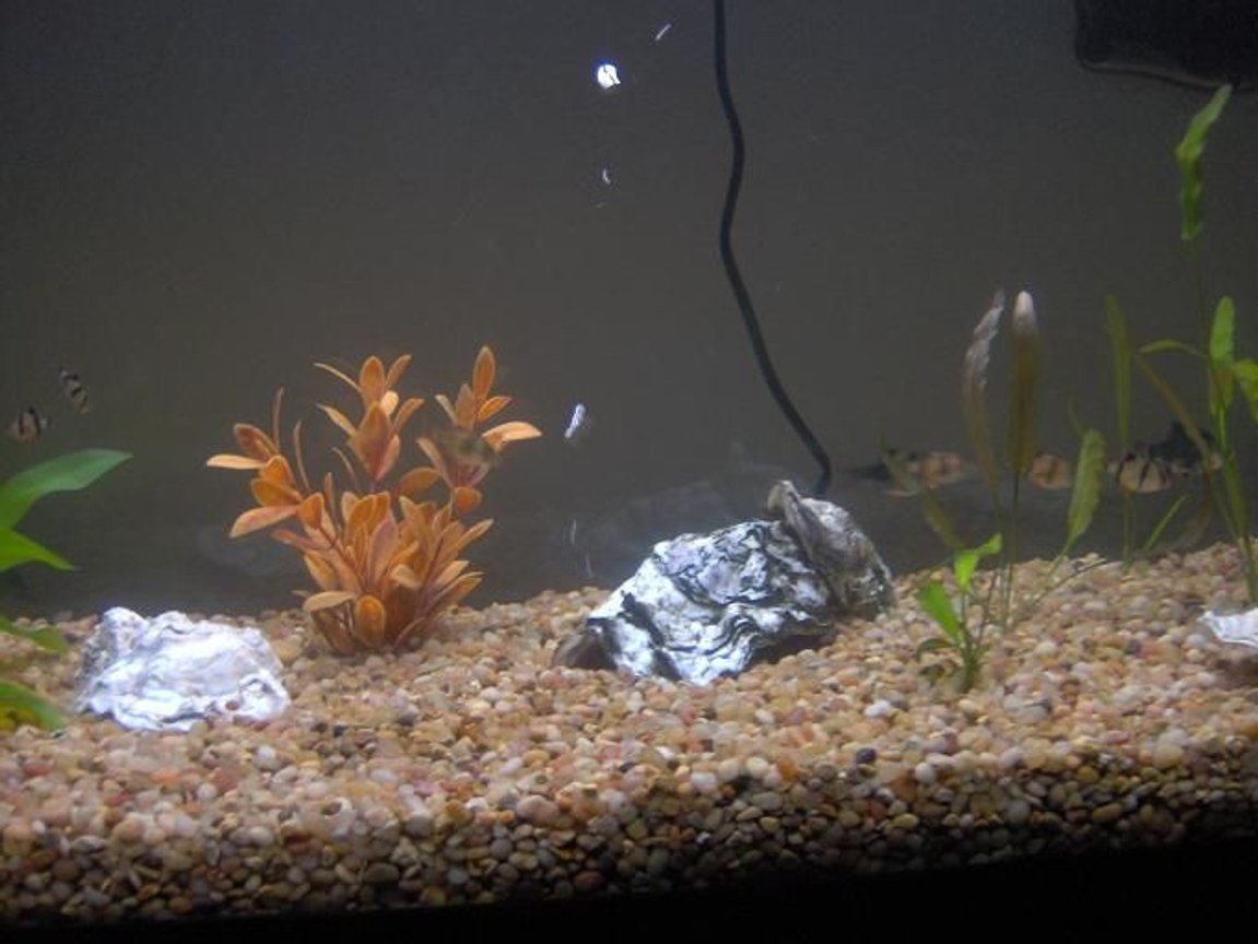 freshwater fish - puntius tetrazona - tiger barb stocking in 38 gallons tank - My 38 Gallon Fish Tank, 6 Tiger Barbs, 2 Green Tiger Barbs, One White Cloud Minnow, and a Gold Chinese Algae Eater. I'm using a Marineland C-Series Multi Stage Canister Filter C-220, the best fiter out there. I personaly think this filter is better then the Eheim, because it allows no bypass, it forces the water through the filter media trays and not around them, all the other canisters allow 40% to 60%