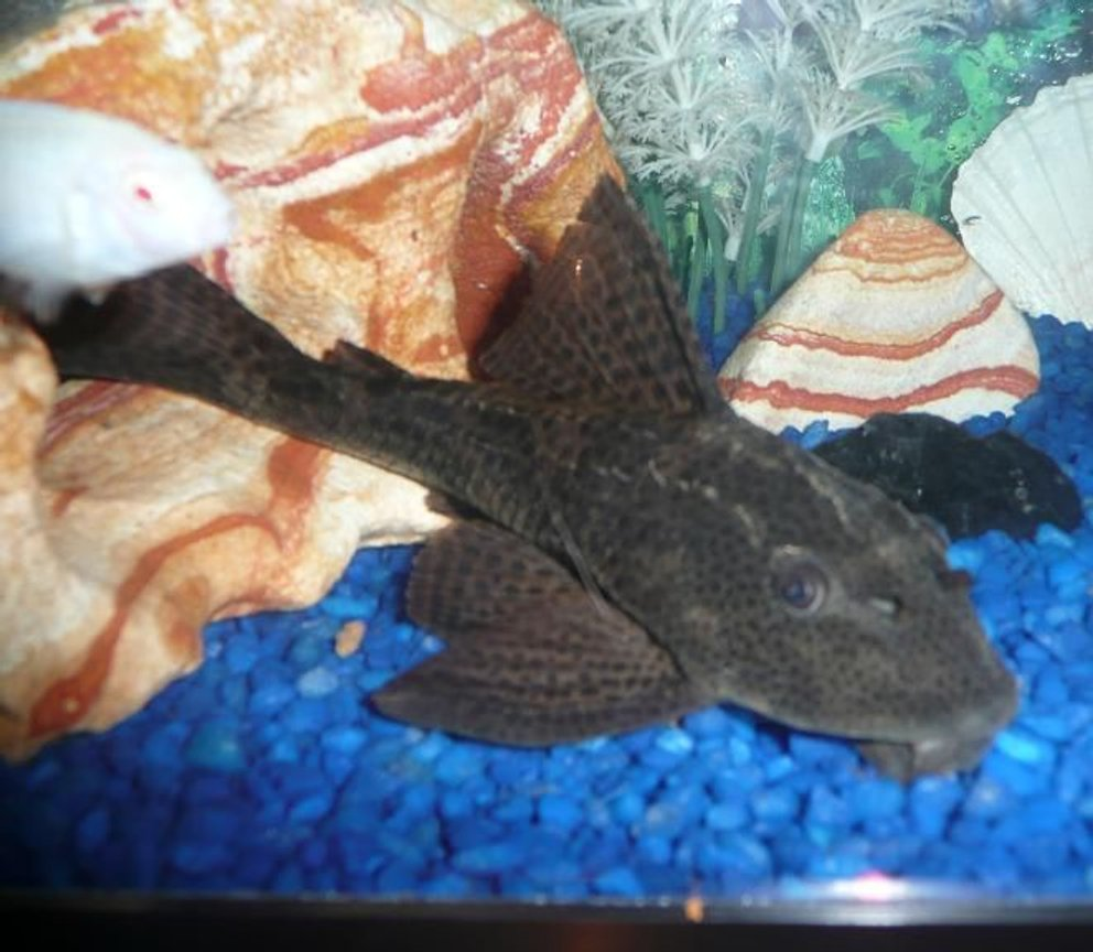 freshwater fish - glyptoperichthys gibbiceps - sailfin pleco (l-83) stocking in 75 gallons tank - This is my Pleco named Juggernaut!