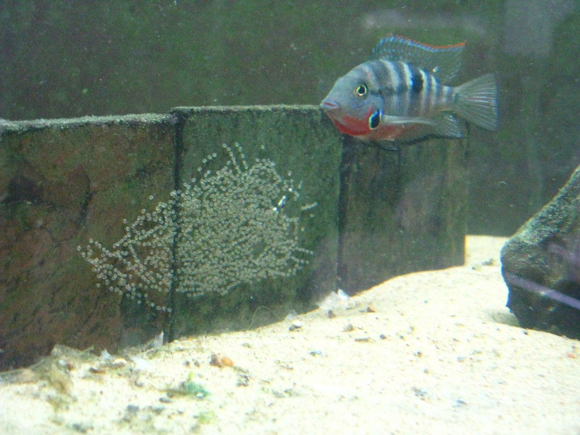 freshwater fish - thorichthys meeki - firemouth cichlid stocking in 220 gallons tank - Thorichthys meeki female with eggs.