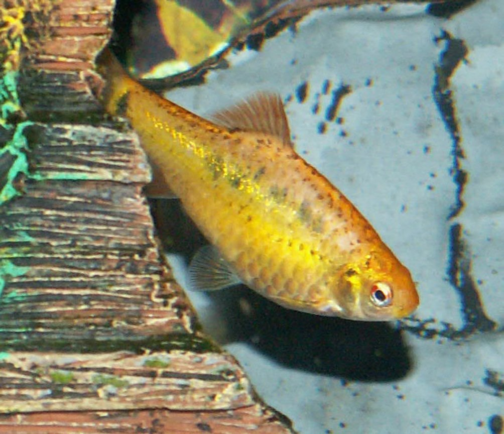freshwater fish - puntius sachsii - gold barb stocking in 110 gallons tank - Gold Barb