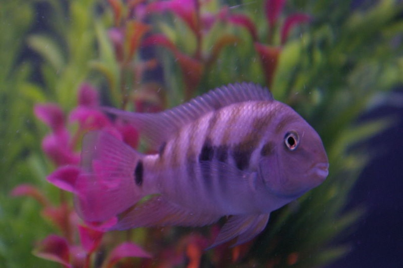 freshwater fish - archocentrus nigrofasciatus - black convict cichlid stocking in 75 gallons tank - male black convict