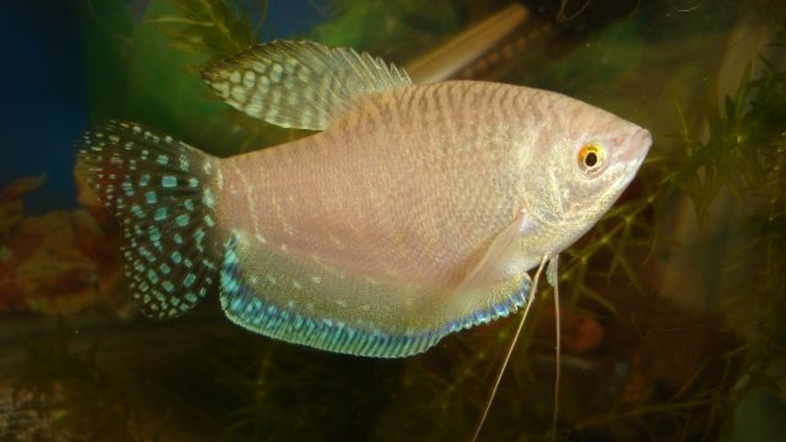 freshwater fish - trichogaster trichopterus - blue gourami stocking in 70 gallons tank - gorami