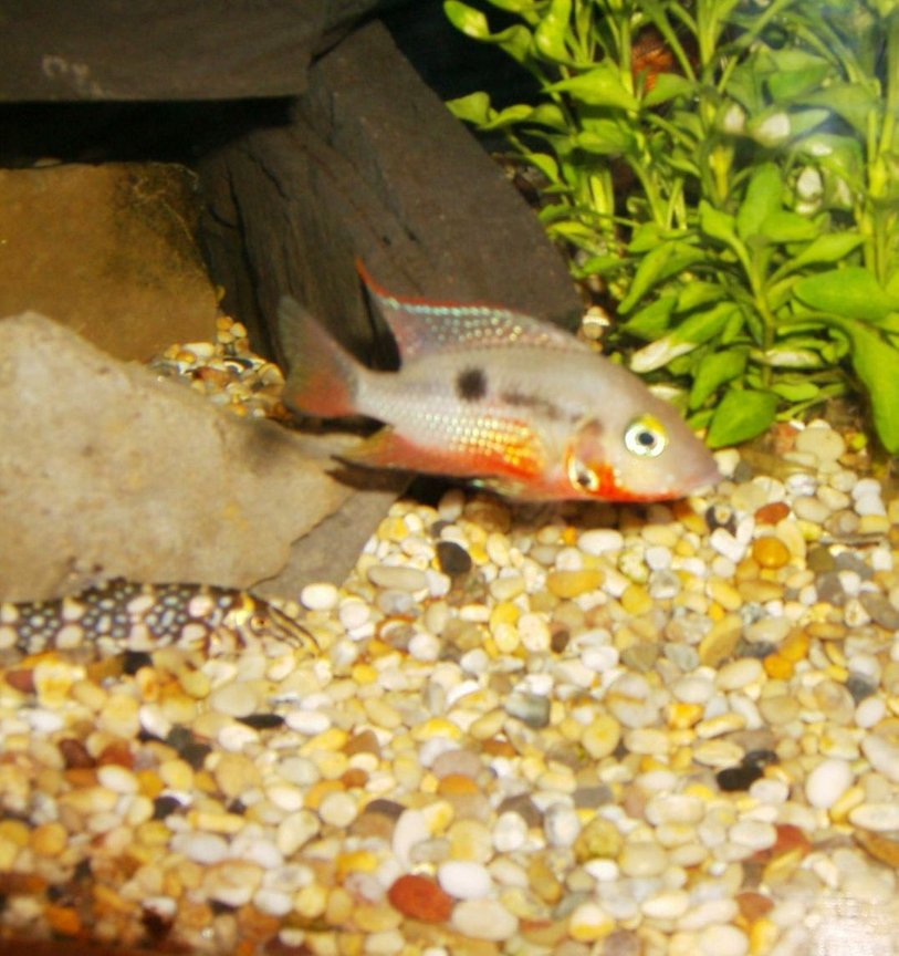 freshwater fish - thorichthys meeki - firemouth cichlid stocking in 90 gallons tank - firemouth 2
