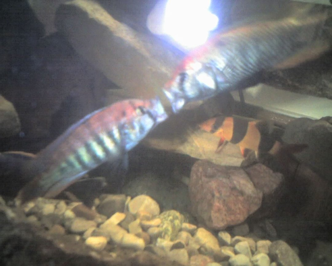 freshwater fish - pundamilia nyererei - nyererei hap stocking in 60 gallons tank - This is a pic of my nyererei and the flameback fighting