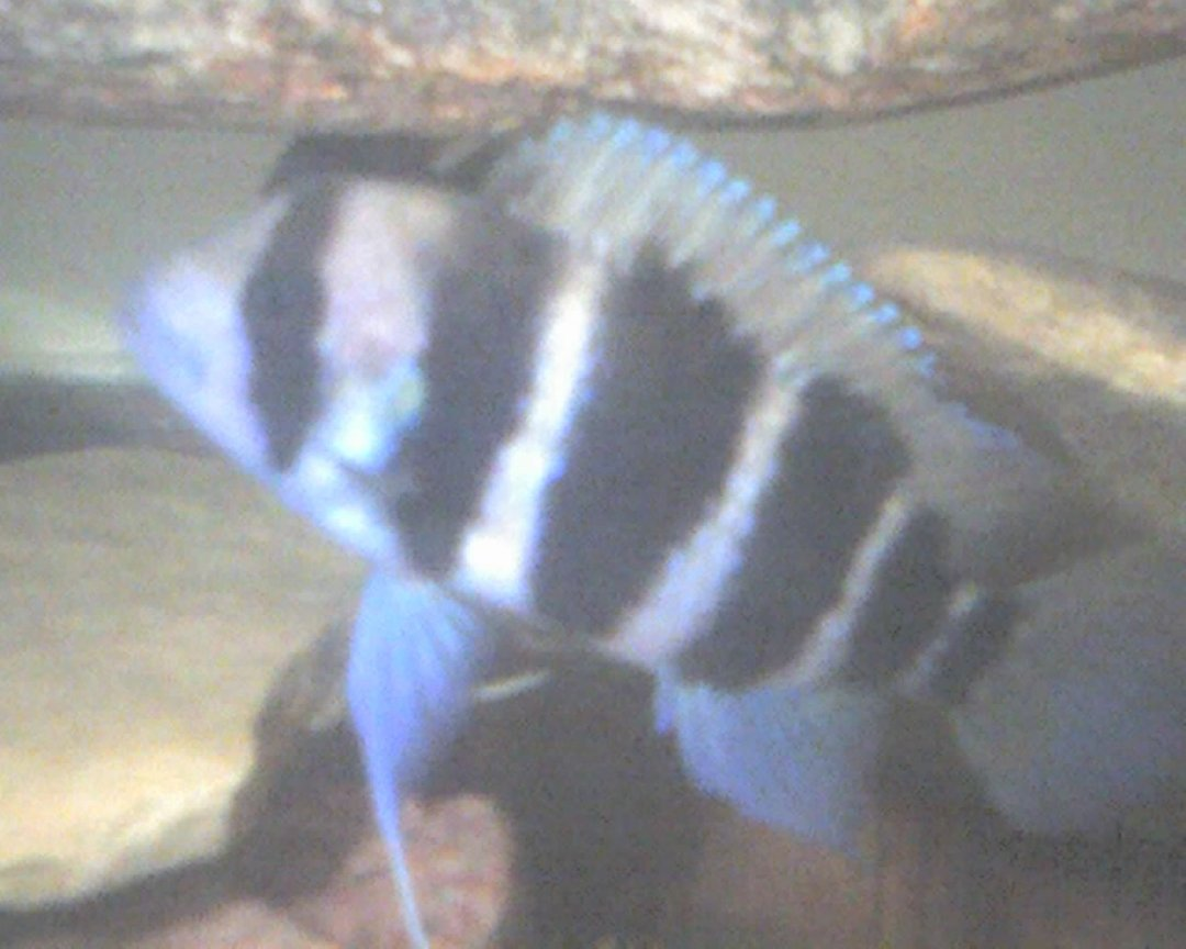 freshwater fish - cyphotilapia frontosa - frontosa cichlid stocking in 60 gallons tank - this is frank the frontosa