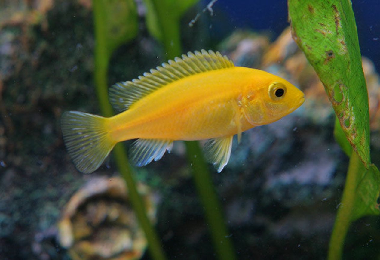 freshwater fish - pseudotropheus estherae - red zebra cichlid stocking in 45 gallons tank - A new african cichlid
