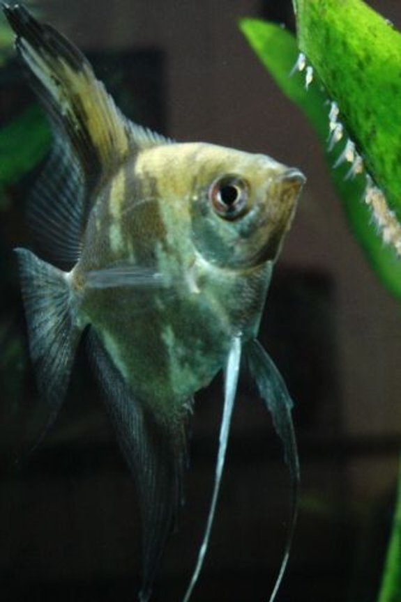 freshwater fish - pterophyllum sp. - gold veil angel stocking in 55 gallons tank - My smokey angelfish Mocha (Pterophyllum scalare), tending to her fry.